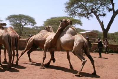 Camels fighting on Harobeke market