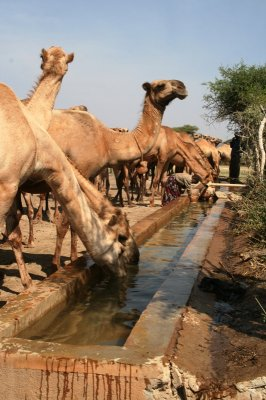 Drenching camels