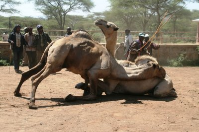 Camel bull fighting