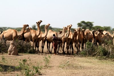 Camels waiting for their turn to drink