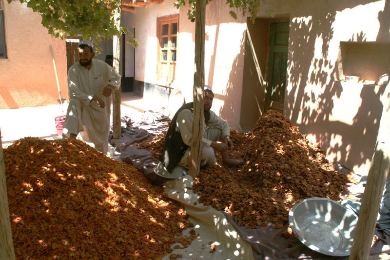 backyard-grading-of-dried-apricots