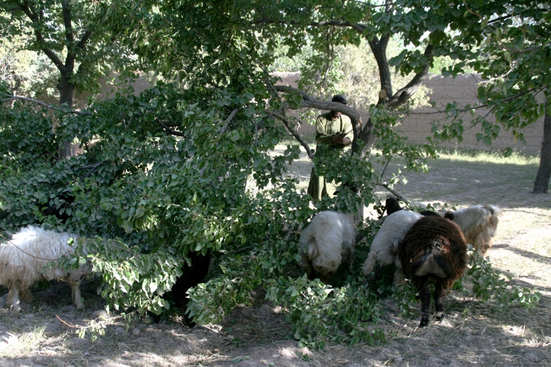 feeding-sheep-on-almond-foliage-uruzgan