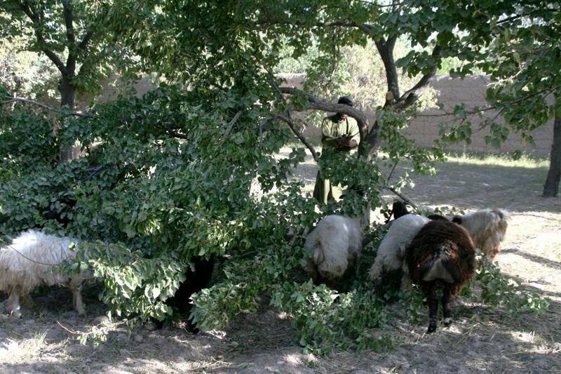 feeding-sheep-on-almond-foliage-uruzgan