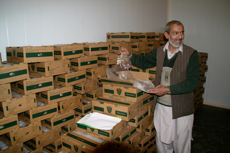 packing-grapes-for-export-to-india-3