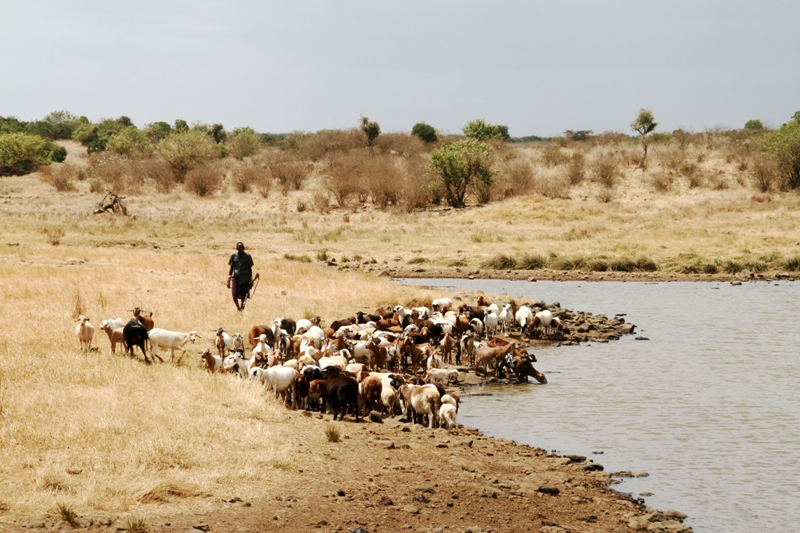 armed-samburu-drenching-his-goats